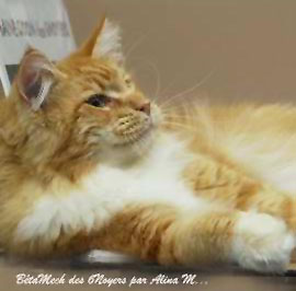 male maine coon roux b ta mech p re chatons maine coon. Black Bedroom Furniture Sets. Home Design Ideas