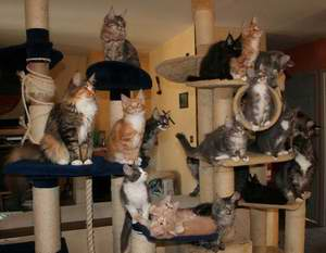 arbre chat pour maine coon arbre chat main coon sur. Black Bedroom Furniture Sets. Home Design Ideas